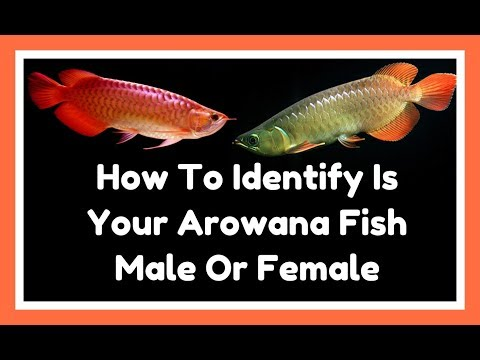 Whats the Actually Differences Between Arowana Fish In Male And Female