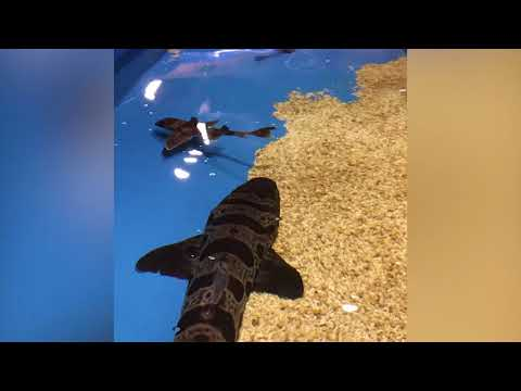 2 new baby sharks at Newport Aquarium, and kids can see them for free