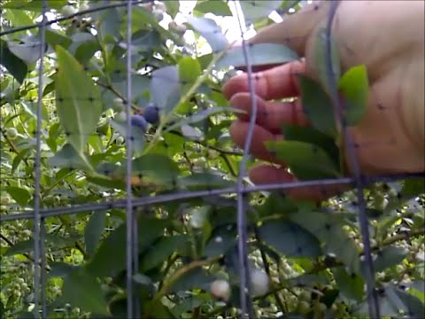 How to Keep Birds and Squirrels Out of Your Blueberries