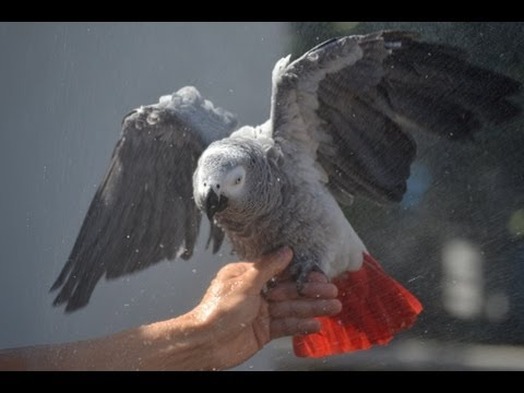 Tips on Showering Your African Grey