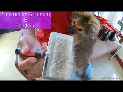 Pomeranian puppies hair shedding and grooming tips