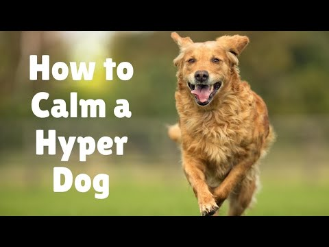 10 steps to calm dogs & hyper puppy   Why is my dog so hyper   Tips on high energy dogs activities