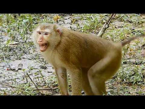 All Female Monkeys Fighting Big King Monkey, They Defeat In This Battle, Daily Monkeys Man#974