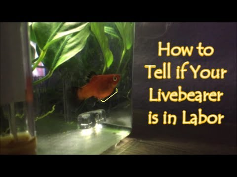 How to Tell if Your Fish Will Give Birth Soon