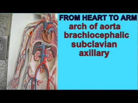 AP2_1_BLOOD FLOW FROM HEART TO ARM