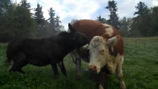 Donkey takes a BITE out Of mad CoW