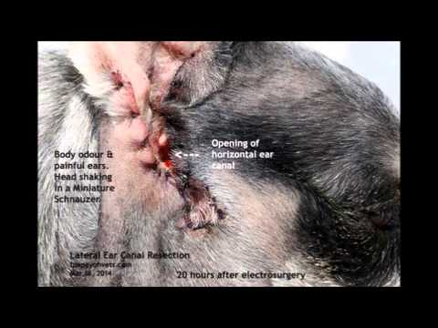 A Schnauzer smells bad and keeps shaking his head - ear surgery