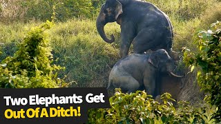 Adorable moment two elephants help each other climb out of a ditch