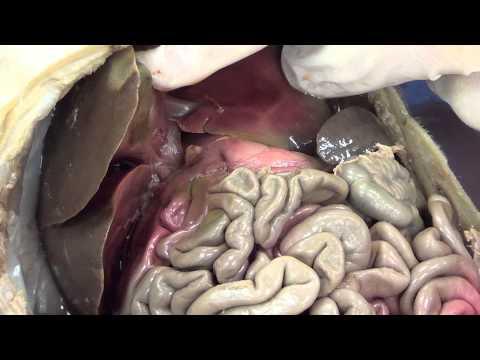 Fetal Pig Dissection Part 2)