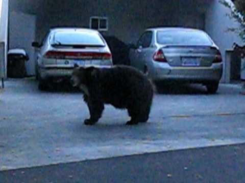 Hannah - The Sierra Madre Canyon Bear