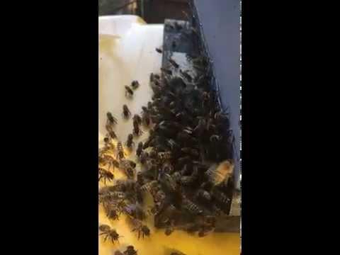 Honeybees using pheromones to attract the swarm