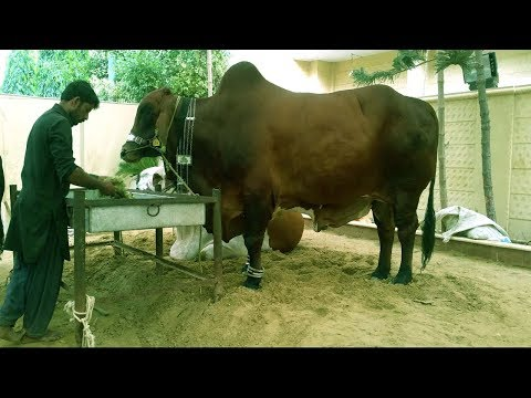 Starting a Business - How to Start a Business Cattle Farming and Cow Farm for Meat Production
