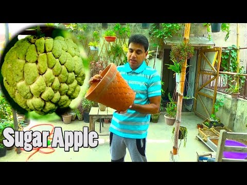 How to Grow Sugar Apple in Container | Sharifa Plant | Fruit Plants (Urdu/hindi)