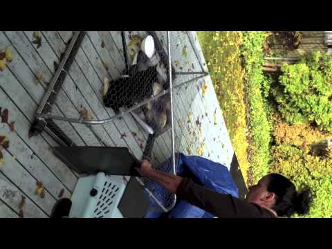 FCAT-Transfering a Feral Cat from Drop Trap to Carrier