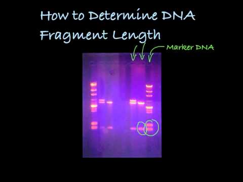 Determining DNA Fragment Length in a Gel