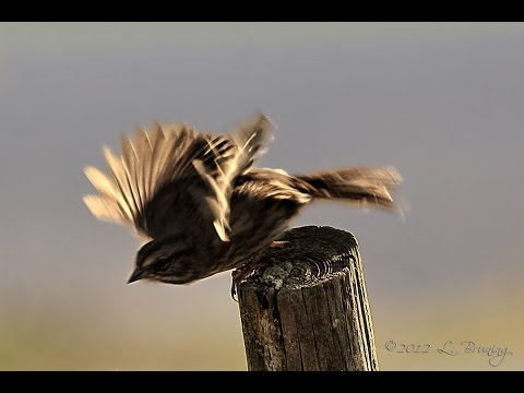 Samsung Galaxy S5 In Camera Slow Motion Sample - Sparrow Take Off  (Set 1080p)