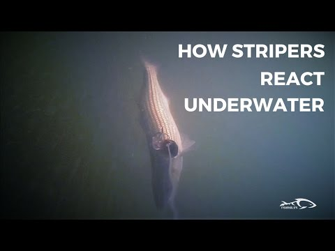 How Stripers React Under Water And How To Adjust