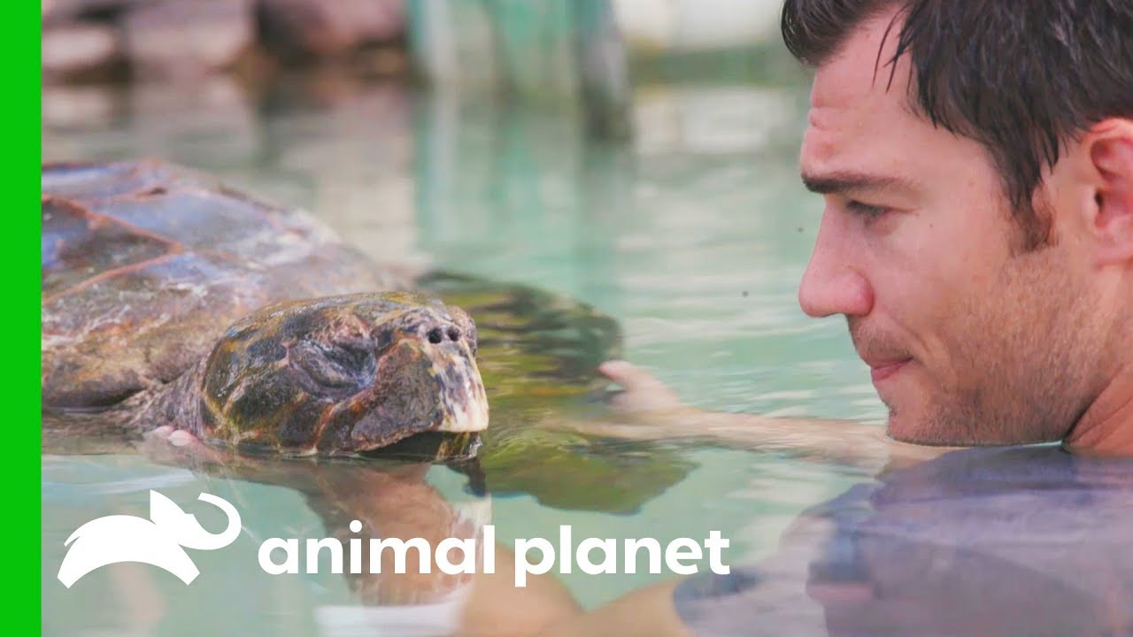 A Sea Turtle Named Tortilla Has A Buoyancy Issue   Evan Goes Wild: Passion and Purpose