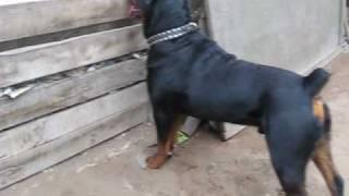 Download Rottweiler Bronco de 1 año.wmv