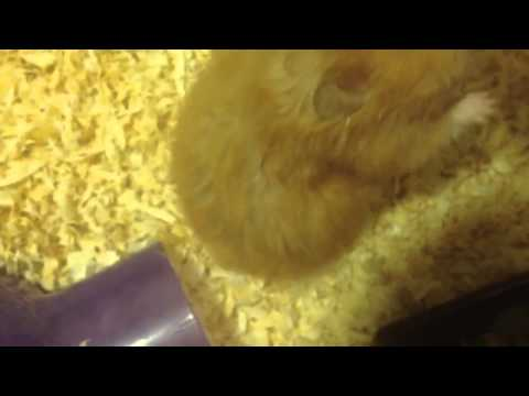 Is Your Hamster Pregnant? What Should You Do?