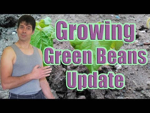 Growing Green Beans from Seed Update (Green Bean Seed Growing with Dario Cann)