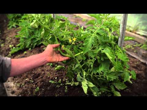 How to Delateral Tomato Plants & Mounding up Potatoes | Organic Edible Garden