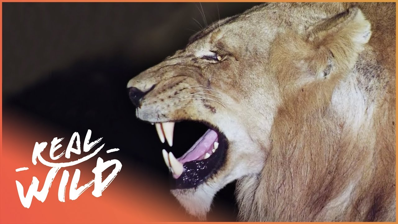 The Big Cats' Struggle To Survive (Wildlife Documentary) | Predators In Peril | Real Wild