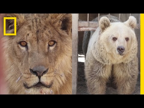 Xxx Mp4 War Torn Zoo 39 S Last Surviving Animals Rescued In Mosul National Geographic 3gp Sex