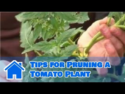 Growing Tomatoes : Tips for Pruning a Tomato Plant