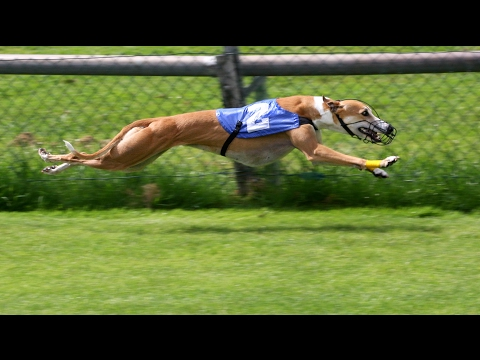 Lazy Greyhounds: how to lay bet