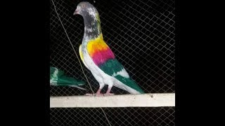 Sialkoti pigeons chapry - The Most Popular High Quality