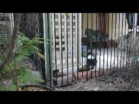 Miss Molly Vs The Fence as seen on funniest home videos