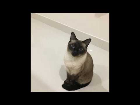 Siamese cat smart and funny pet