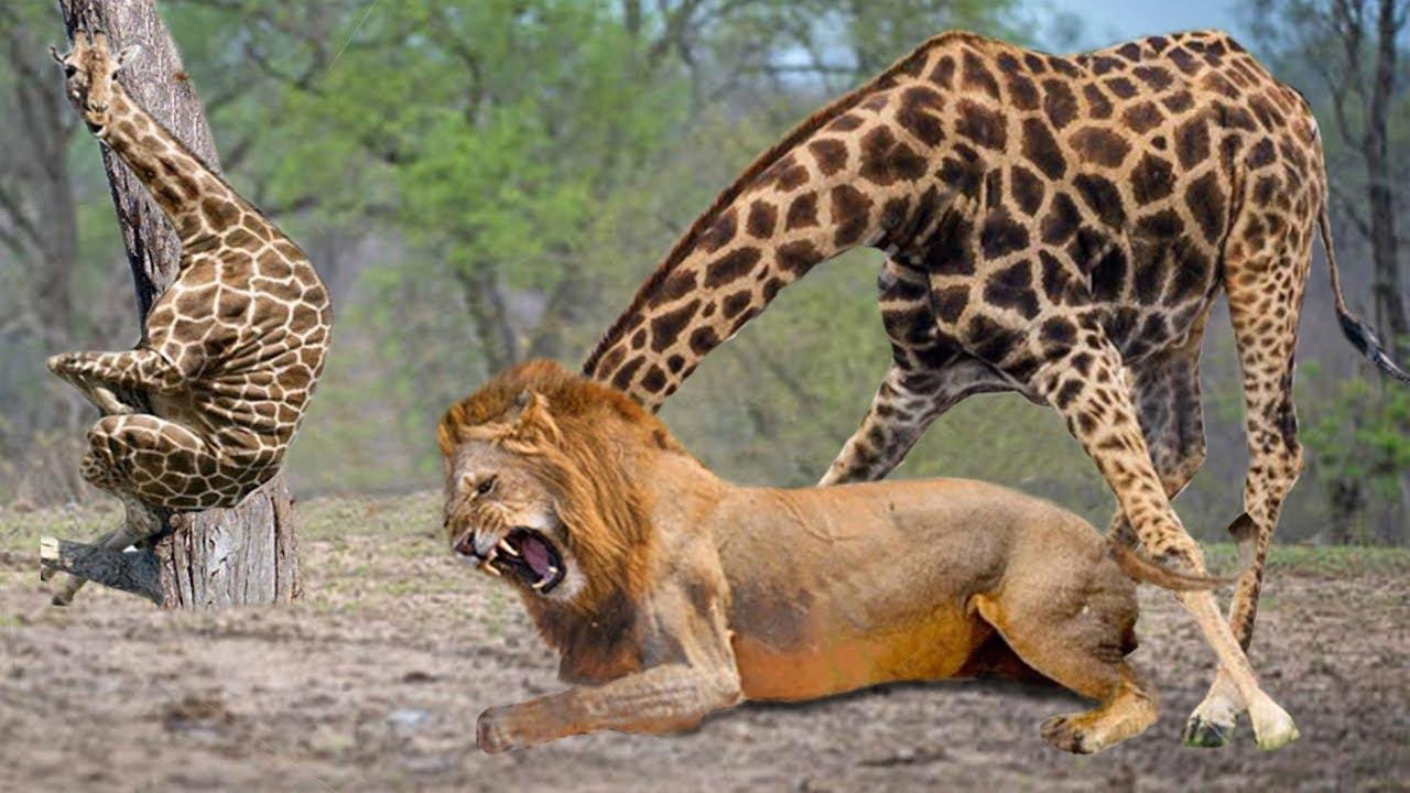 Mother Giraffe Kick Broken  Lion Head Who Try To Eat Her Baby, Harsh Life of Wild Animals