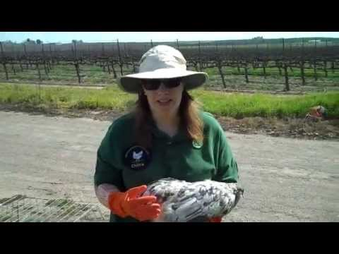 Chickens With Mites and Lice; How to Treat Quickly