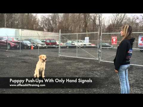 1-Year Old Golden Retriever, Herbie!  Trained Golden Retrievers Virginia | Dog Trainers