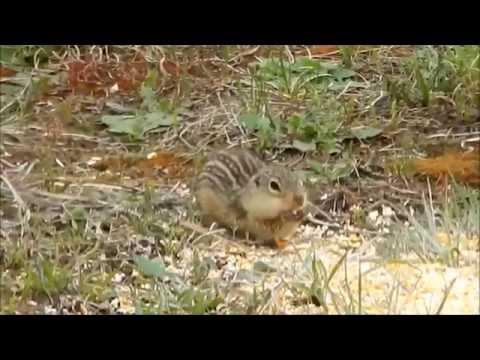 13 Lined Ground Squirrel enjoying corn