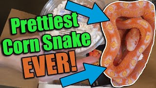 Unboxing a SCALELESS Corn Snake from South Mountain Reptiles!!