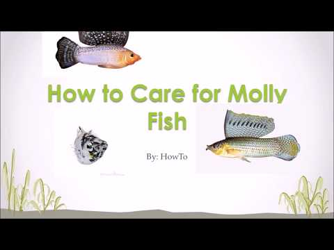 How to Care Sex and Breed Molly Fish