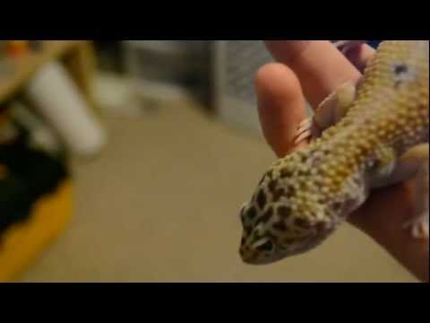 How to check a female leopard gecko for eggs