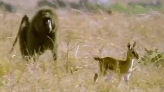 Baboon vs Baby Gazelle | Be An Animal | BBC Earth