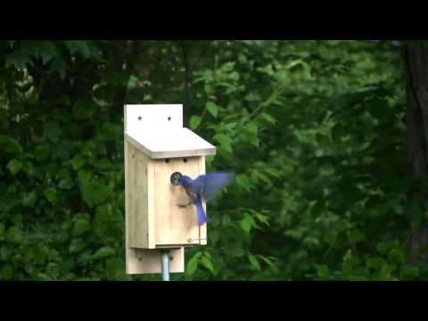 Bluebirds Fledging
