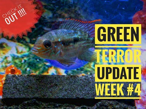 Green Terror :Growing | Update Week #4 |