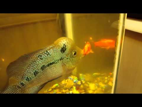 Flowerhorn vs Gold fish