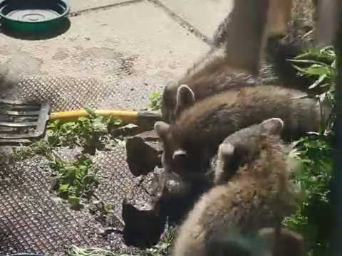 Baby raccoons playing in water