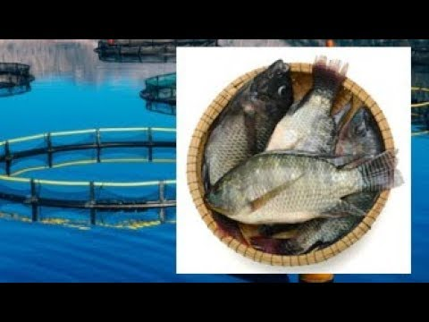 THIS IS WHY YOU SHOULD STOP EATING TILAPIA AND FARMED SHRIMP IMMEDIATELY