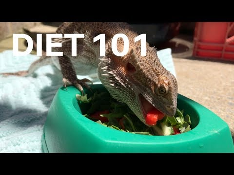 DIET 101 | HOW AND WHAT TO FEED YOUR BEARDED DRAGON!