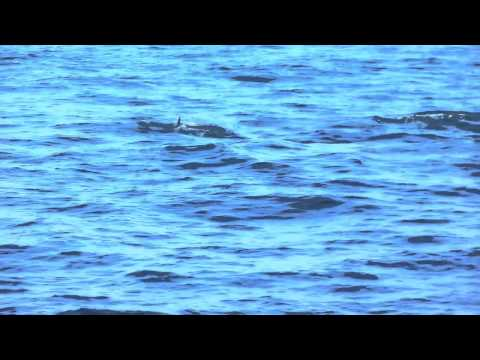 Swanage dolphins