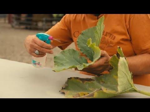 How to Kill Mildew on a Pumpkin Plant : Pumpkin Gardening