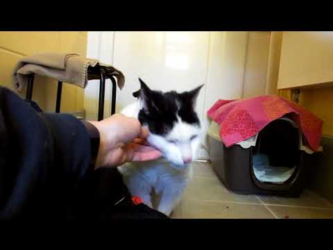 Noodles the cat for re homing at Blue Cross in Cambridge